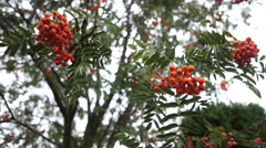 Rowan branches covered with beautiful red berries Stock Footage