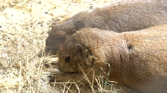 Prairie dogs in the zoo Stock Footage