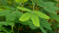 Green mimosa plant Stock Footage