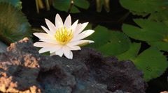White water lily in a pond, near a rough rock Stock Footage