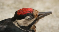 Great Spotted Woodpecker Sitting Stock Footage