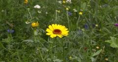 Corn marigold, Glebionis segetum, yellow flowerhead in summer breeze Stock Footage