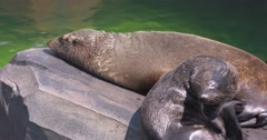 Fur Seal sunbathing Stock Footage