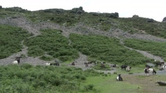 Valley Of The Rocks Wild Goats Stock Footage