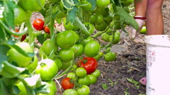 Tomatoes picking in the greenhouse Stock Footage
