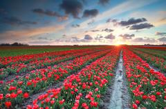 Sundown over red tulip field in spring Stock Photos