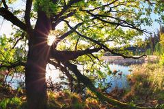 Sunbeams through oak tree branches by lake Stock Photos