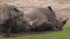 White Rhinoceros (Ceratotherium simum) rhinos wallowing- side view Stock Footage