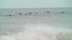 Flock of brown pelicans skim the crashing waves Stock Footage