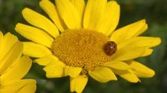 Ladybird, Coccinella septempunctata, on corn marigold - close up Stock Footage