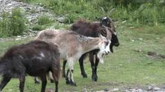 Wild Goats Lock Horns Stock Footage