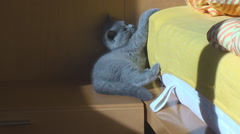 Thoroughbred British kitten blue color sitting in the room on the nightstand. Stock Footage
