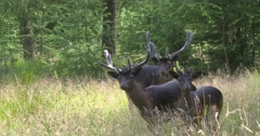 Melanistic (black) Fallow deer, a group of bucks stand at forest edge Stock Footage