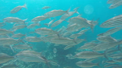 Close up of black-striped salema at isla floreana Stock Footage