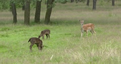 Fallow Deer,chestnut coloured doe with a twin melanistic fawns Stock Footage