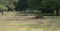 Red Deer (cervus elaphus) hinds with calves in open forest Stock Footage