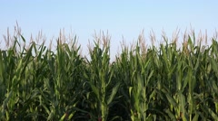 Green corn stalks in cultivated maize field Stock Footage