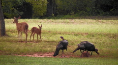 Wild turkey white tail deer spotted fawn all together Arkistovideo