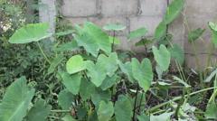 Elephant's Ear plant (Colocasia esculenta (L.) Schott) Stock Footage