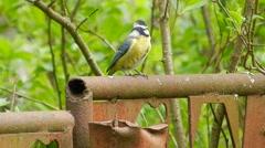 Blue tit ordinary (bird) (Cyanistes caeruleus) jumps, chirps and looks around. Arkistovideo