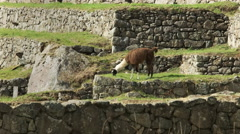Side view of a llama grazing at machu picchu Stock Footage