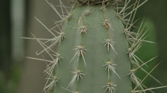 Pan on cactus thorn Stock Footage