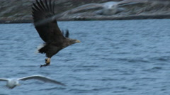 White-tailed Eagle  catching fish Stock Footage