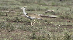 Kori Bustard (Ardeotis kori) walking on savannah. Stock Footage