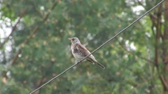 Fieldfare Thrush (bird) (Turdus pilaris) is sitting on a wire and looks around. Stock Footage