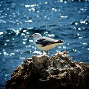 Seagull on Crag - stock photo