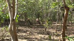 4k Hidden deers in Komodo island national park mangrove forest Stock Footage