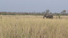 African Elephant (Loxodonta africana) sauntering Stock Footage
