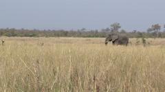 African Elephant (Loxodonta africana) sauntering Arkistovideo