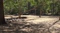 4k Old Komodo dragon walking in sandy area of mangrove forest Footage