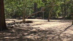 4k Old Komodo dragon walking in sandy area of mangrove forest Stock Footage