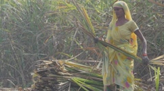 Woman binding sugar cane,Kushinagar,India - stock footage