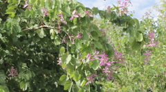 Purple Orchid Tree (Bauhinia purpurea L.) Stock Footage