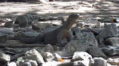 4k Young Komodo dragon in rocky place in mangrove forest - stock footage