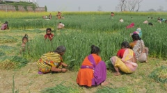 Village people harvesting wheat,Kushinagar,India - stock footage