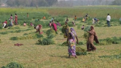 Village people harvesting wheat,Kushinagar,India - stock footage