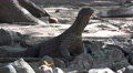 4k Young Komodo dragon close up relaxing rocky place Footage
