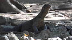 4k Young Komodo dragon close up relaxing rocky place Stock Footage