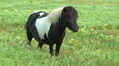 Pony grazing in the steppe - stock footage