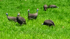 Flock of Guineafowl Foraging Stock Footage