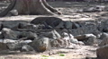 4k Young Komodo dragon leaving dry rocky place in forest Footage