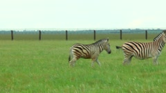 Panorama spring steppe where grazing zebra Stock Footage