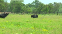 Two black bull in the wilderness near the farm Stock Footage