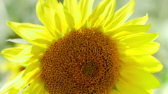 Closeup view of yellow sunflower in the wind Stock Footage