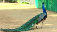 Peacock stands sideways to the camera. Stock Footage
