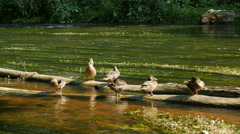 Wild ducks on top of an old log above the water Stock Footage